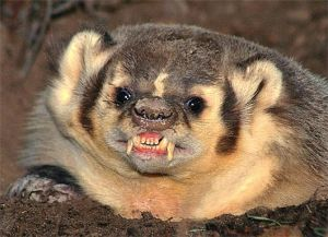 angry-badger